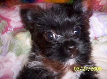 Cami, the Chorkie puppy. Her mom was a long hair Chihuahua that weighs