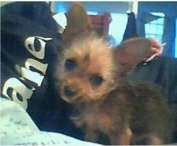 Toby a 3 month old Chorkie weighing 2 pounds