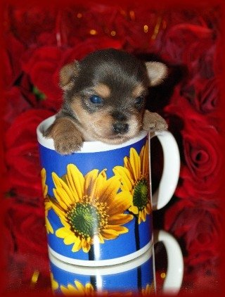 A brown and tan Chorkie puppy is inside of a sunflower coffee cup on a glass table with red roses behind it