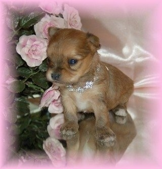 A tiny Chorkie puppy wearing a shiny silver collar is sitting on a glasse table next to pink flowers.