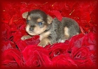 A tiny brown and tan Chorkie puppy is laying on a bed of red roses
