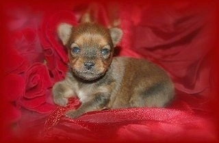 A tiny brown Chorkie puppy is laying on a red blanket with a bunch of red rose flowers next to it
