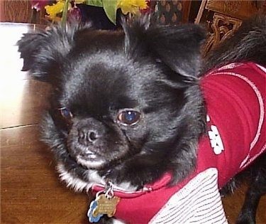 Mugzie, the Chug at 1 year old.  His mother was a black Pug and his father was a black and white Long Haired Chihuahua.