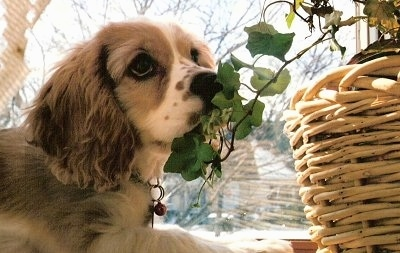 Toby the Cockalier puppy is laying in front of a window and looking at the plant that is in a wicker vase in front of him