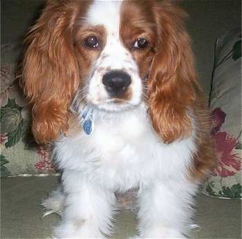 Tanner, the 7 � month old Cockalier. His mother is a fawn colored Cocker Spaniel and his father is a tri-colored Cavalier King Charles Spaniel