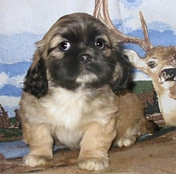 A tan with a black face and white chested Cockanese puppy is sitting in front of a backdrop that has a deer on it