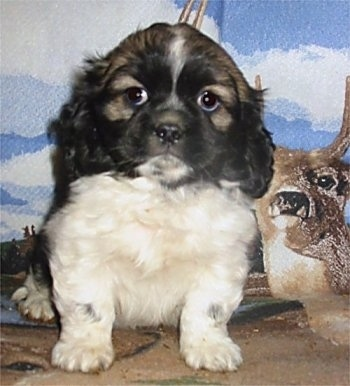 A black, white and tan Cockanese puppy is sitting in front of a backdrop with a deer on it.
