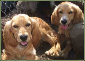 Two Golden Cocker Retrievers are sitting in front of a chain link fence. There mouths are open and tongues are out