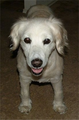 Close Up - A white Golden Cocker Retriever is standing on a tan carpet. Its mouth is open and tongue is out.