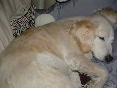 Lucky (nicknamed Goomba), the Comfort Golden at 15 years old.