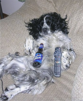 A black and white Springer Spaniel dog is laying on its back belly-up in an arm chair. There is a Labatt Blue beer bottle on its stomach and a TV remote next to it.