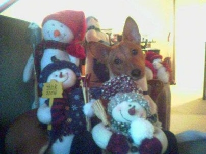 A brown with white Basenji dog is sitting on a couch behind Three Snowman stuffed plush dolls.