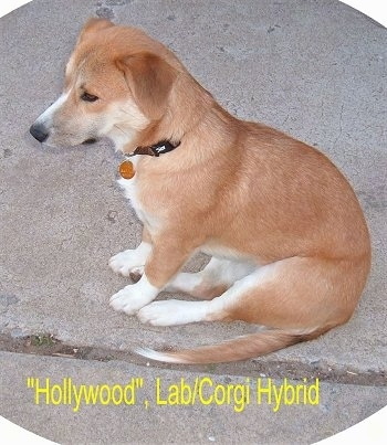 Hollywood the tan and white Corgidor is sitting outside in the middle of a sidewalk. The Words - 'Hollywood', Lab/Corgi Hybrid - are overlayed in yellow letters under the dog