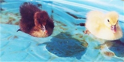 Close up - Two Muscovy Ducklings are swimming across a blue plastic pool. One duck is yellow and the other one is brown.