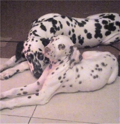 Dalmatian Puppies on Two Dalmatians   Snickers Is The Black Spotted Male  And Candy Is The