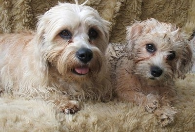 Dandie Dinmont Terrier dogs family