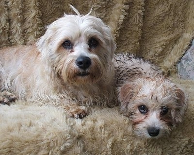 Two tan and white Dandie Dinmont dogs, an adult and a puppy, are laying over the edge of a fur covered couch