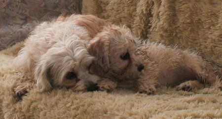 Two tan and white Dandie Dinmont dogs, an adult and a puppy, are  laying together on a fur covered couch