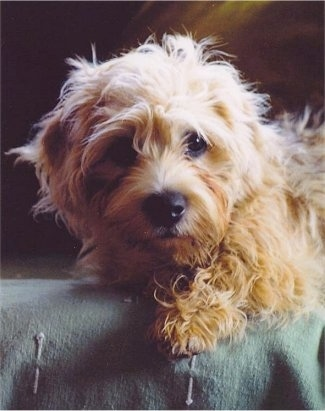 Cute Dandie Dinmont Terrier dog