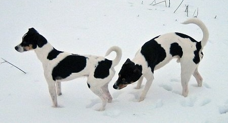 Sigurd and Tjalfe the Danish-Swedish Farmdogs are outside standing in snow. Tjalfe is sniffing Sigurd