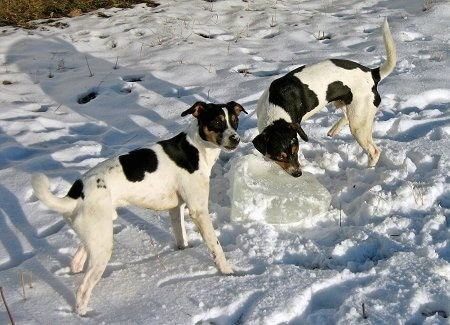 Sigurd and Tjalfe the Danish-Swedish Farmdogs are outside in snow playing with a large block of ice