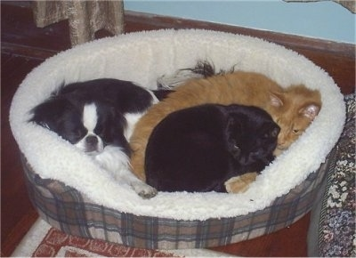 Sumo the Japanese Chin, Mango the Orange Cat and Dinky the Black Cat are laying in a dog bed together