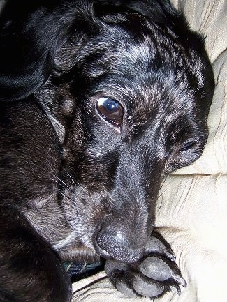 Close Up head shot - Shelby the black and gray dapple Doxle is laying on a blanket