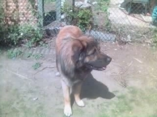 Scobby the Estrela Mountain Dog standing outside in front of a chainlink fence and looking to the left