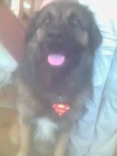 Close Up - Scobby,the Estrela Mountain Dog is sitting on a couch with its mouth open and tongue out. It is wearing a superman medal