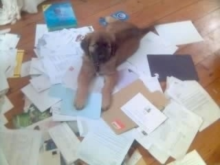 Scooby the Estrela Mountain Dog as a puppy is laying on lots of scattered and different types of paper