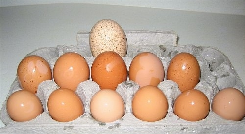 Eleven Chicken Eggs and One Turkey Egg in a carton