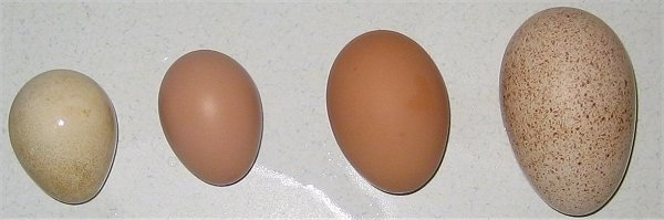 A Guinea Fowl Egg is on a table next to a  Barred Rock Chicken Egg, which is next to a Road Island Red Egg, which is next to a Turkey Egg