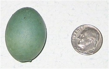Robbins Egg next to a dime to show size comparison