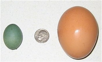 Robbins Egg to the left of a dime and a Road Island Red Chicken Egg to the right of the dime.