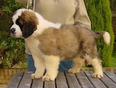 Cujo, the English St. Bernard as a young puppy