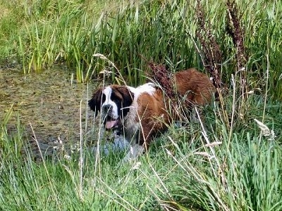 A brown with white and black Saint Bernard is standing near a marsh and it is looking forward. Its mouth is open and its tongue is out. There is tall grass in front of it.