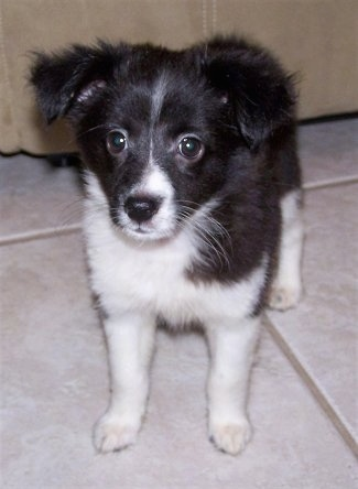 Close Up - Nikki the black and white Eskland puppy is standing on a tiled floor with a couch behind her.