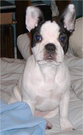 Dunkin, the Faux Frenchbo Bulldog (Boston Terrier / French Bulldog mix)