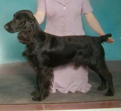 Field Spaniel Dog Breed Pictures 1