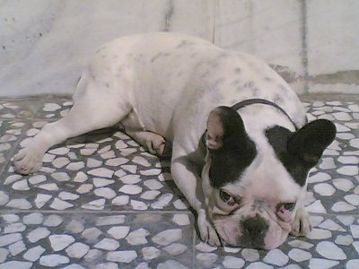 A white with black French Bulldog is laying down on a gray with white stone floor