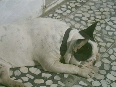 A white with black French Bulldog is laying her head down on a gray with white stone floor in front of a concrete wall
