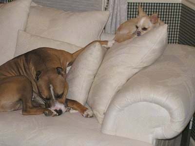 A large brown with white Pit Bull Terrier is laying on the seat part of a couch with a little tan and white Chihuahua  laying on the back of the couch up higher on a pillow.