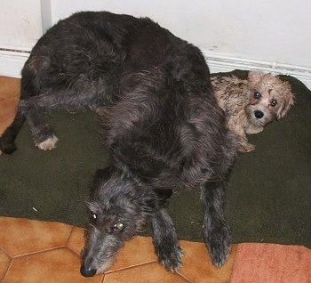 A large gray Deerhound dog is laying down on a green pillow on top of a brown tiled floor next to a small tan Dandie Dinmont Terrier dog.