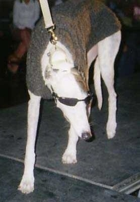 A tan Greyhound is wearing sunglasses and a gray sweater walking down a runway and looking to the right