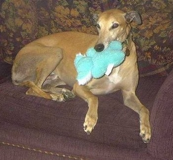 A tan with white Greyhound is laying on a brown couch with a green plush toy in its mouth.