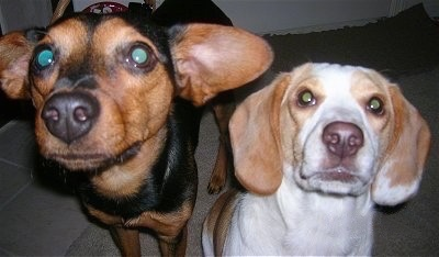 Close Up front body shots - A black and tan Meagle dog is standing next to a sitting white and lemon Beagle