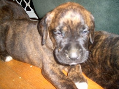 Close Up - A brown brindle Golden Boxer puppy is laying in between two other littermates