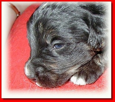 Close Up head shot - a black with tan and white Golden Mountain dog puppy  is laying on a red pillow
