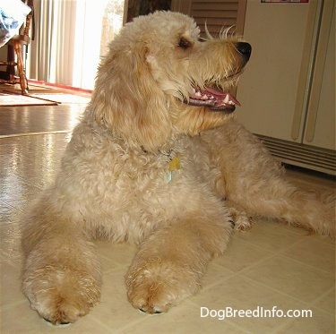 Bailey the Goldendoodle at 9 months old