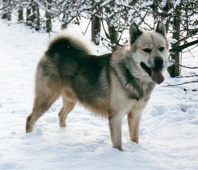 A Greenland Dog is standing in snow and there are trees behind it. Its mouth is open and tongue is out